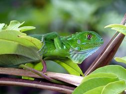 green lizard on a tropical tree on Costa Rica
