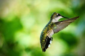 Beautiful and colorful, cute, flying hummingbird, at blurred background