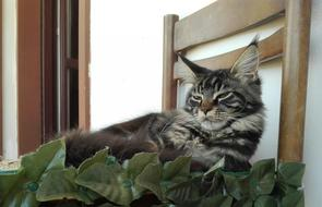 Mainecoon Cat on a chair in relaxation