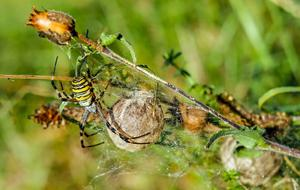striped wasp spider