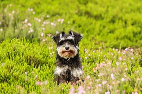 Miniature Schnauzer puppy runs in a green meadow