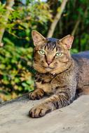 striped domestic cat with a smart look