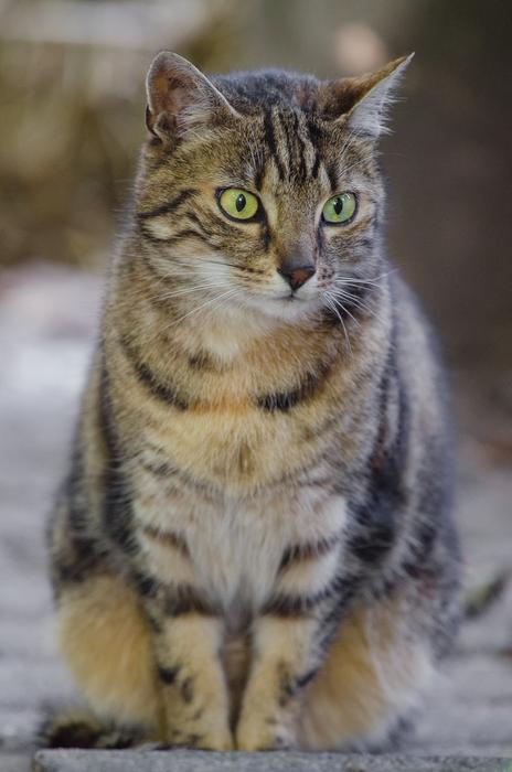 tabby cat with bulging eyes
