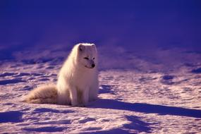 charming Arctic Fox sits on snow, norway