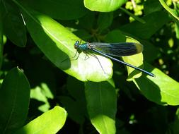 blue dragonfly flies to a green bush in summer