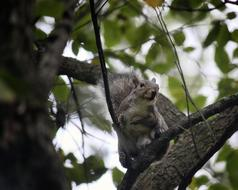 furry grey Squirrel on Tree