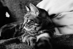 Black and white profile portrait of the beautiful and cute tabby cat