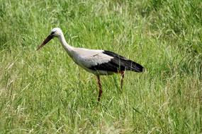 eastern Stork in the grass on a sunny day