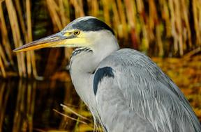 wonderful wild grey heron