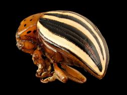 gorgeous False Potato Beetle