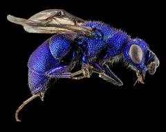 Cuckoo Wasp Blue drawing