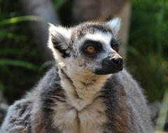 furry lemur in the corral at the zoo
