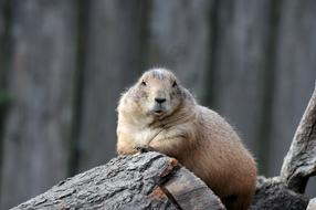 incredibly cute Prairie Dog