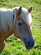 Macro photo of a brown horse with a white mane