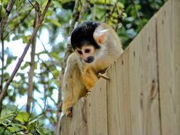 monkey at top of wooden wall in Zoo