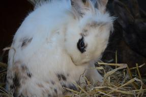 furry White Rabbit sits on straw