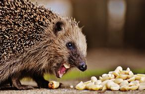 Hedgehog eats peanuts from ground
