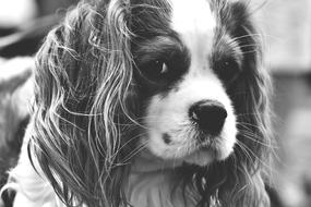 splendid Cavalier King