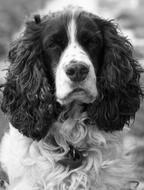Black and white portrait of the cute and beautiful English Springer Spaniel