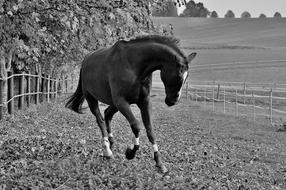 Black and white photo with the beautiful, running horse on the meadow, on the hills