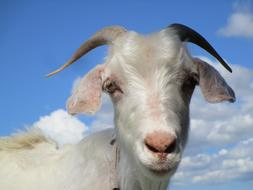 gorgeous Goat Animal Blue