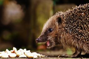 young hedgehog near the feed close-up