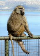 monkey on a metal fence near the water