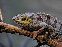 amazing chameleon on the branch