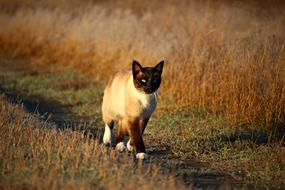Siamese Cat walking on path at autumn evening