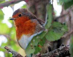 european robin is sitting on a branch