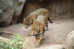 exotic jaguars in the zoo