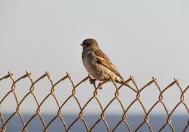 Sparrow on Wire