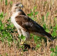 Tailed Hawk Red-Tailed