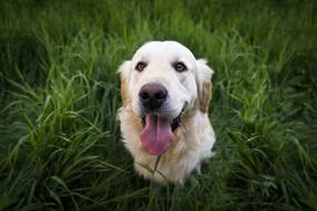 Cute Dog, Golden retriever with stick out tongue looking up