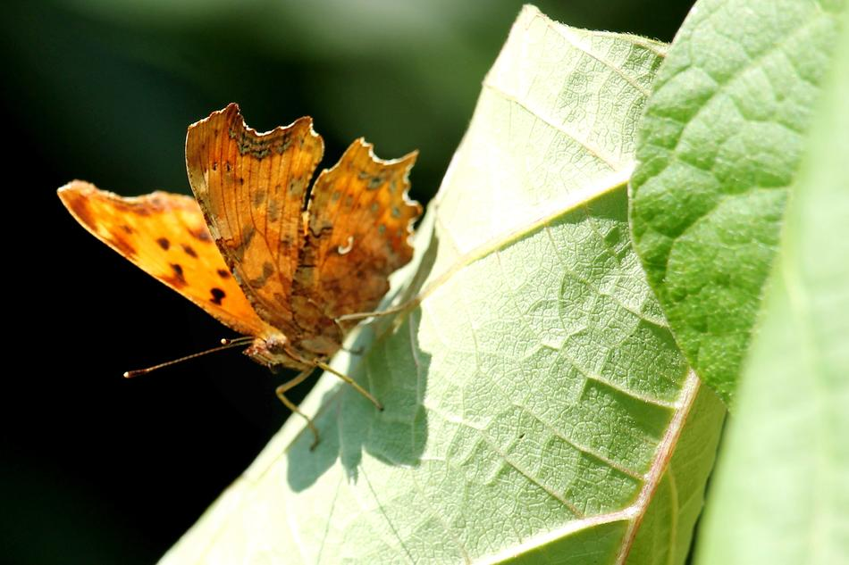 orange spotted butterfly on a twisted green leaf