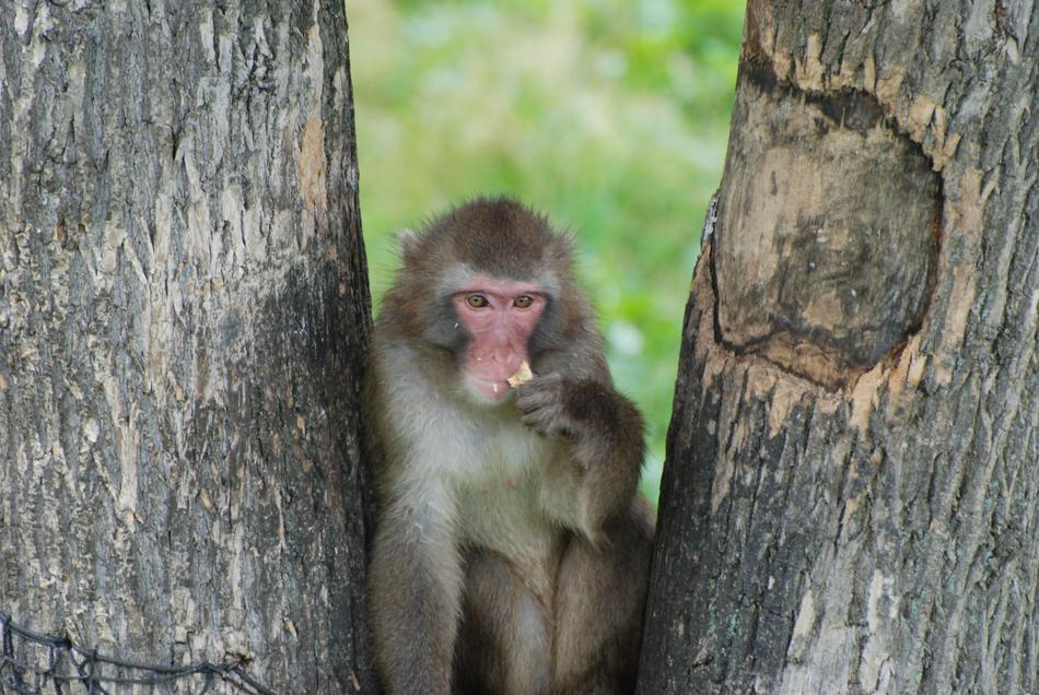 enchanting Monkey Macaque