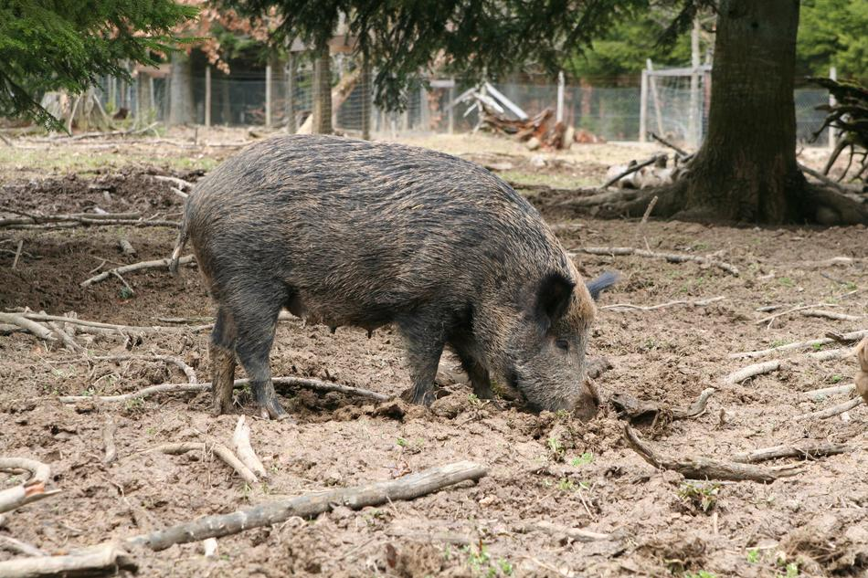 Boar Sow Animal