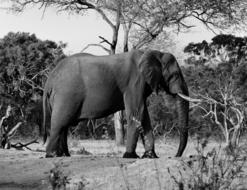 black and white photo of a big elephant under a tree in Africa