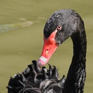 head of Black Swan with red beak close up