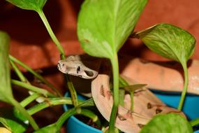 Boa Constrictor, young Snake coiled on plant