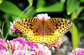 amazing great spangled fritillary on the flower