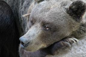 gorgeous Bear Wildlife Brown