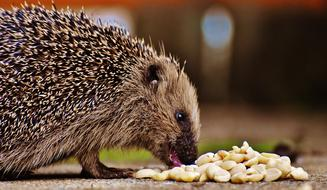 Profile portrait of the cute, beautiful and colorful hedgehog, eating meal
