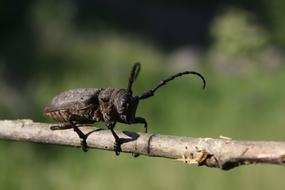 Close-up of the beetle on the branch, at blurred background with green plants