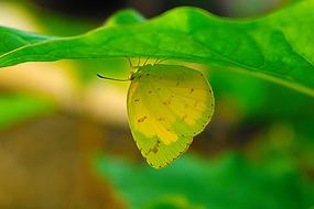 yellow Butterfly hides beneath Green leaf