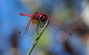 red Dragonfly Insect Macro