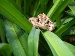 Pickerel Frog sits on grass blade
