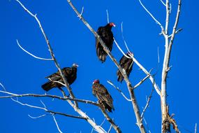 perched on the tree turkey vultures