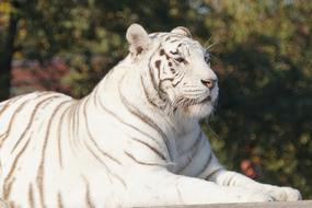 Beautiful, white and black, striped tiger, among the colorful plants