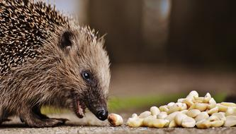 hedgehog eating nuts